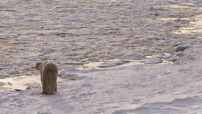 Polar bear stands and then walks along edge of ice, pack ice in the process of freezing lies just off the edge.  Bear leaves frame.  Med-Wide.