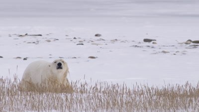 Male polar bear lays in snow and golden grass.  Second bear walks into frame, both bears leap up onto their hind legs and begin sparring, batting and biting at each other.  They drop and lunge back up multiple times.  Med-Close.
