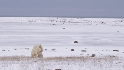 Two male polar  bears leap up onto their hind legs and begin sparring, batting and biting at each other.  The drop and lunge back up multiple times then drop back down to pin each other.   Multiple re-frames, Wide to Med.