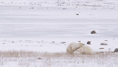 Two male polar bears grapple and wrestle with each other in snowy golden grass in front of a frozen pond.  Wide.