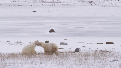 Two male polar bears leap up to spar and grapple with each other on their hind legs in dead grass near frozen pond.  Wide.