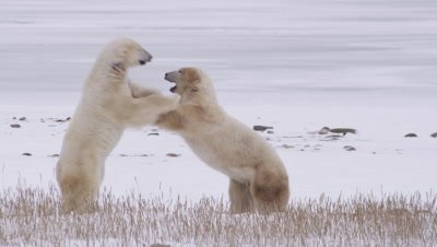 Two male polar bears leap up to spar and grapple with each other on their hind legs in dead grass near frozen pond.  Med.