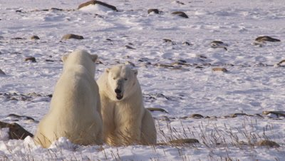 Two of three polar bears who had been sparring rest between play sessions, cooling off as they pant.  One bear approaches the other and swipes at it, the second lunges at the first.  Close.