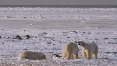 Three polar bears who had been sparring rest, panting to cool off.  One bear approaches and lunges at one of the other bears, who trots off.  Wide.