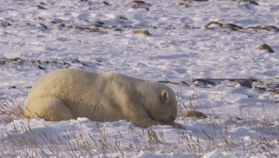 Male polar bear who had been sparring lies in the snow, eating snow to cool off.  Second bear enters frame and approaches the first to re-initialize play.  Close.