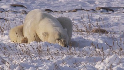 Male polar bear who had been sparring lies on its belly in the snow, cooling off.  Close.
