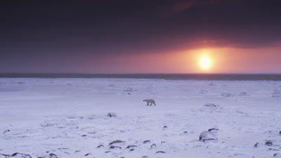 Sunrise scenic.  Lone polar bear walks across bizarre, barren ice field with a brilliant sun rising over the horizon under heavy clouds.  Wide.
