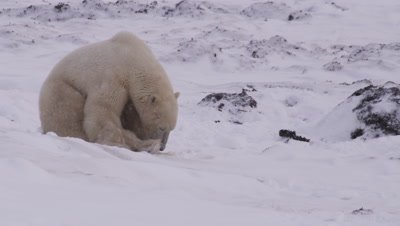 Lone, tired-looking, polar bear sits in a snow bank as a light snow falls.  Med-Close.