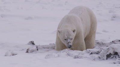 Lone polar bear digs in a snow-covered kelp bank as a light snow falls.