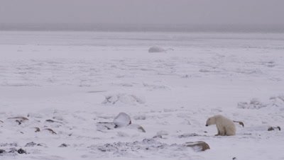 Lone polar bear sits on a rocky, snowy shoreline with a vast frozen ocean in the background.  A light snow falls.  Wide.