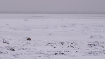 Pan across a rocky, snowy shoreline with a vast frozen ocean in the background to reveal a lone polar bear sitting and overlooking the ocean. A light snow is falling.  Bear lays down.  Wide.