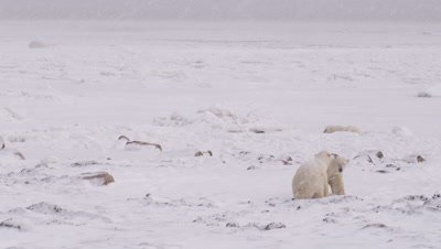 Two male polar bears spar and lunge at each other on rocky, snowy shoreline overlooking frozen ocean.  Snow falls.  Wide.