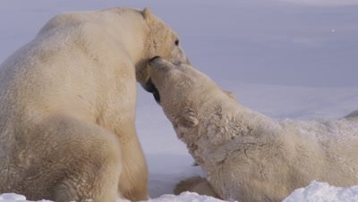 Two male polar bears, dusted in fresh snow, grapple and wrestle in a bank of fresh snow.  Tight.