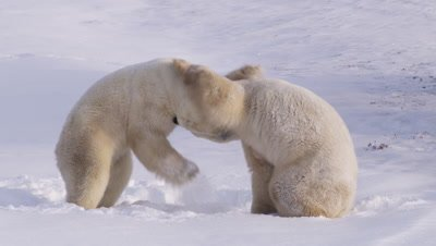 Two male polar bears, dusted in fresh snow, spar on their hind feet in a bank of fresh snow.  Close.