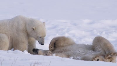 Two male polar bears interact as a light snow falls.  Slow Motion.  One bear lies on its back and interacts with the other bear, who is standing over it.   Close.