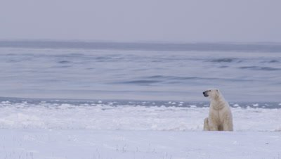 Lone polar bear sits on snow ridge.  Waves break in and roll into shore in the background.  Bear lifts its head to smell and walks off frame.  Med-Wide.