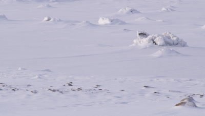 A lone polar bear walks into frame, crossing a bizarre landscape of ice formations and pristine snow.  Med.