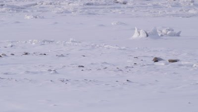 A polar bear walks into frame and crosses a bizarre landscape of fractured ice formations and pristine snow.  Wide.