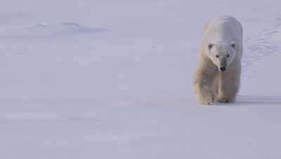 A polar bear walks towards camera, leaving footprints in pristine and undisturbed snow.  Med.