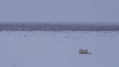 Polar bear rolls on its back in fresh snow on pond on stormy, overcast day.  Willows in the background and snow falling.  Wide.