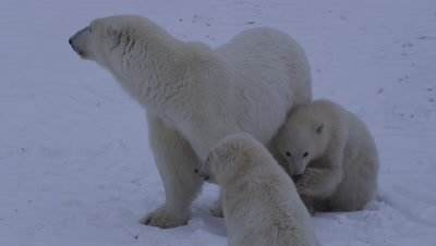 Mother polar bear huddles with her two cubs-of-the-year as it lightly snows.  The mother nervously looks around as her cubs stay close.  Close.