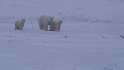 Mother polar bear and two yearling cubs look towards camera as a light snow falls on an overcast day.  The cubs huddle together with their mother.  Med-Wide.