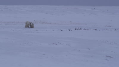 Mother polar bear and two yearling cubs look towards camera as a light snow falls on an overcast day.  The cubs huddle together with their mother.  Wide.