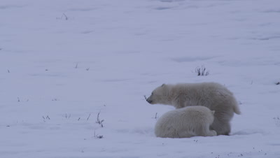 One polar bear cub-of-the-year walks off screen, leaving its sibling laying in the snow.  Med.