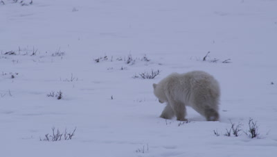 One polar bear cub-of-the-year walks through fresh snow, stops and rolls around on a shrub.  Second bear walks into frame and rolls on its back in the same spot then leaves frame.  Med.