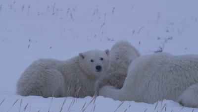 Mother polar bear and her two cubs-of-the-year lay together, huddled up in fresh snow that has golden grass sticking out of it.  The mother keeps a watchful eye while her cubs look around and smell the air.  Close.