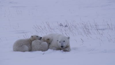 Mother polar bear and her two cubs-of-the-year lay huddled up together in fresh snow.  The cubs are curled up next to each other and her as she looks around, keeping an eye out.  Med.