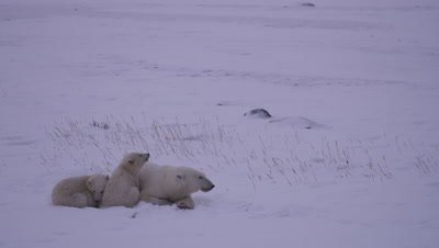 Mother polar bear and her two cubs-of-the-year lay huddled up together in fresh snow.  They look around, keeping an eye out for other bears.  Med.