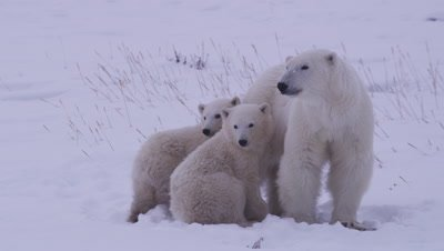 Mother polar bear stands with her two cubs-of-the-year huddled up next to her.  They are all nervous, looking offscreen at another bear.  Close.