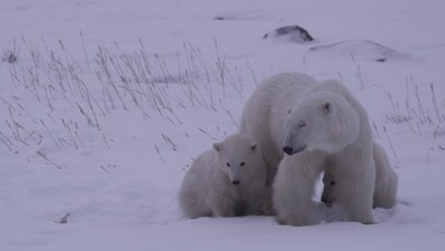 Mother polar bear stands with her two cubs-of-the-year huddled up next to her.  They are all nervous, looking offscreen at another bear.  All three watch intently, with one cub looking between its mother's legs.  The mother suddenly makes a move towards the offscreen bear, Med.