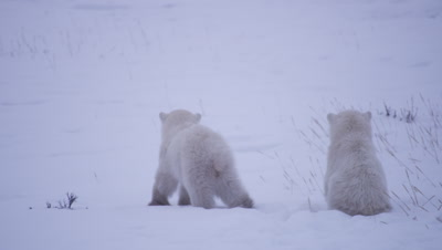 Two polar bear cubs-of-the-year watch and offscreen bear and one starts walking away while the other remains seated in the snow.  Med.