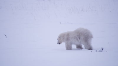 Polar bear cub-of-the-year walks through fresh snow and catches up with its mother, who leaves frame.  Bear cub remains sitting in the fresh snow.  Med.