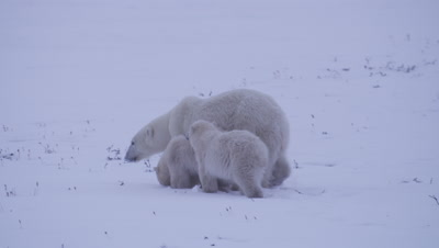 Mother bear and two cubs-of-the-year walk through fresh snow, looking away from camera and keeping a nervous eye on an offscreen bear.  Med.