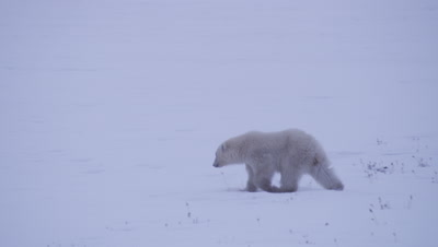 Lone polar bear cub-of-the-year walks through fresh snow and catches up with it's mother and sibling.  Med.