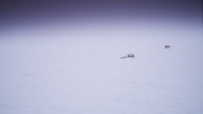 Mother polar bear with two cubs-of-the-year  rolls on its back in the snow by its cubs as another bear walks off in a bleak landscape, during a whiteout/blizzard.  Wide.
