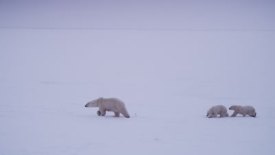 Mother polar bear with two cubs-of-the-year leads her cub across a bleak snowy landscape during a whiteout/blizzard.  Wide-Med.