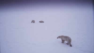 Mother polar bear with two-cubs-of-the-year chases another bear away from her cubs, charging and snapping at it.  Bears are in a bleak landscape during a whiteout/blizzard.  Ext. Wide, reframe to Wide.