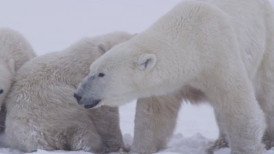 Stressed-out mother polar bear with two cubs-of-the-year charges at offscreen bears in whiteout / blizzard.  Tight.