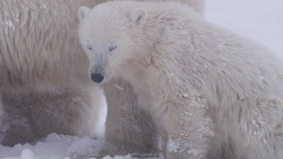Polar bear cub-of-the-year sits and huddles close to its mother's side in snowstorm/whiteout.  Tight.