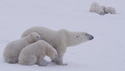 Stressed-out mother polar bear and her two cubs-of-the-year stand huddled together in a whiteout/blizzard.  Another mother bear and her yearling cub in the background.