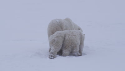Mother polar bear and her two cubs-of-the-year walk away from camera into a snowy landscape.  Med.
