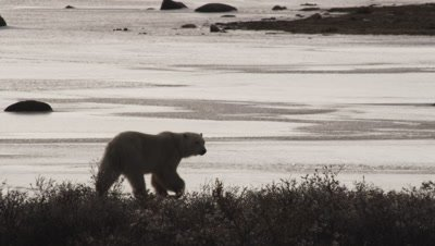 Backlight polar bear walks across frozen pond with brush in the foreground.  Med.