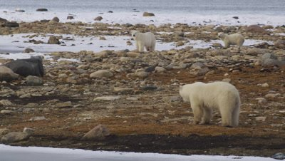 2 year old bear walks towards its sibling and mother.  Sibling & mother walk towards it and all three come together.  Med.