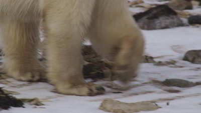 2 year-old polar bear cub walks along rocky and frozen shore, smelling the air.  Tight shot starting on its legs, tilting up to its head. Leaves frame.  Tight.
