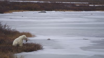 Polar bear scavengers on Canada goose carcass in Fall vegetation on shore of frozen pond.  Med-Wide.