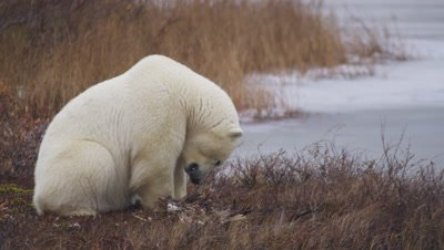 Polar bear scavengers on Canada goose carcass in Fall vegetation on shore of frozen pond.  Close.